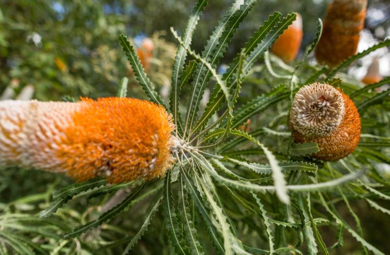 Banksia J THOMAS 1