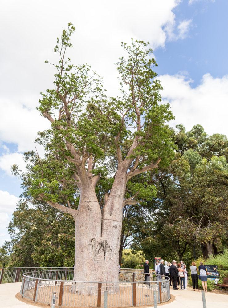 Gija Jumulu Boab Tree by Jason Thomas 1