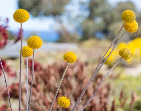 Pycnosorus globosus 'Billy Buttons'