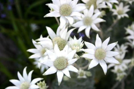 1 Actinotus helianthi Flannel flower