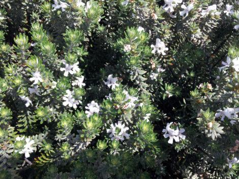 Westringia fruiticosa 'Flat 'n Fruity'