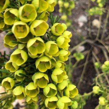 Boronia megastigma lutea