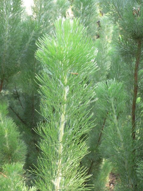 2 Adenanthos sericeus Silver streak2 Westflora Russell Dahms