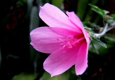Hibiscus geranioides