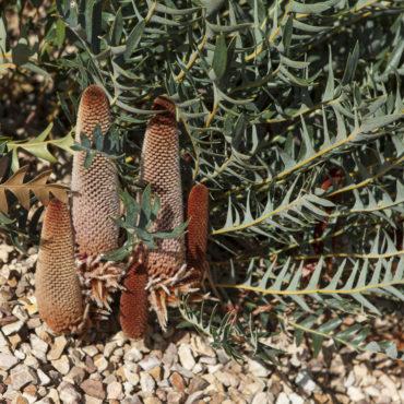 Banksia blechnifolia