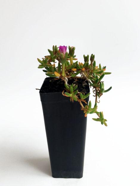 Disphyma crassifolium subsp. Clavellatum