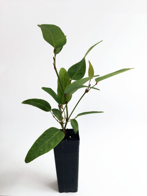 Hardenbergia violaceae ' Happy Wanderer'