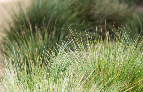 Lomandra confertifolia 'Little Con'