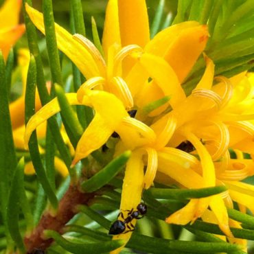 Persoonia chamaepity 'Creeping Geebung'