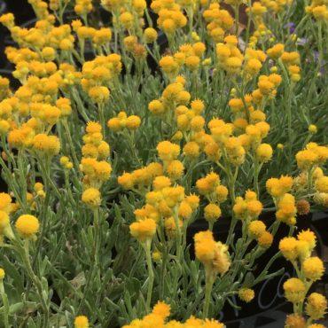 Chrysocephalum apiculatum ramosissimum
