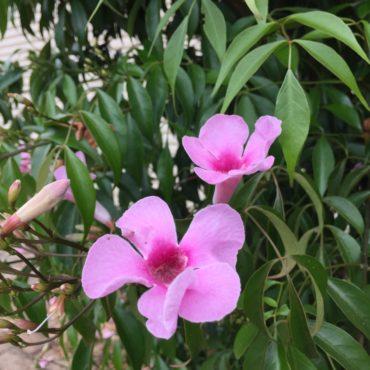 Pandorea jasminoides 'Southern Belle'