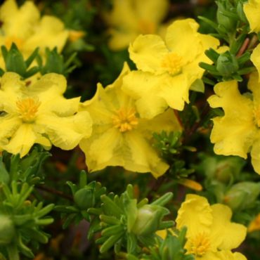 Hibbertia vestita 'Golden Sunburst'