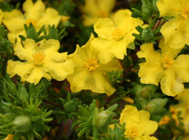 hibbertia guinea flower golden sunburst 1