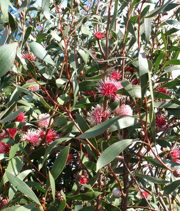 hakea laurina red flower close up