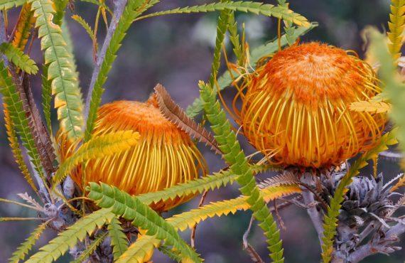 Dryandra Formosa 'Showy Dyandra' macro close up of flower