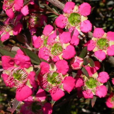Tea Tree Leptospermum 'Rudolph' pink flowers macro close up