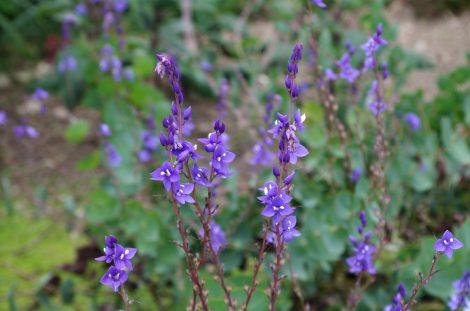 Veronica perfoliata 'Diggers Speedwell' flowers