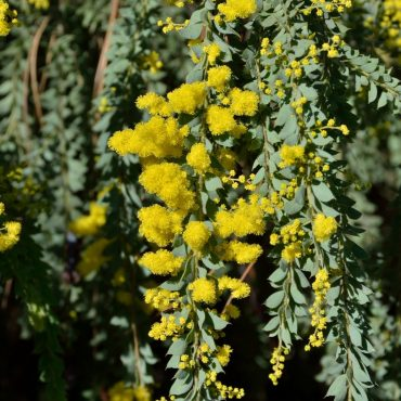Acacia vestita 'Hairy Wattle' flower close-up