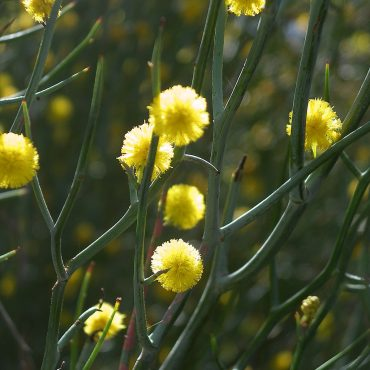 Acacia aphylla 'Leafless Rock Wattle' Foliage close-up