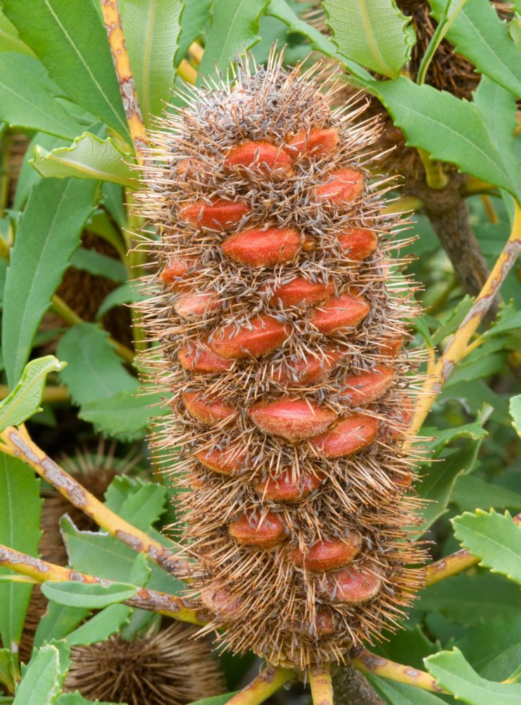Banksia paludosa 'Little Pal' cone close-up