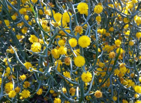 Acacia aphylla 'Leafless Rock Wattle' Foliage flowers close-up