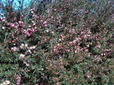 Tea Tree Leptospermum 'Rudolph' flowers
