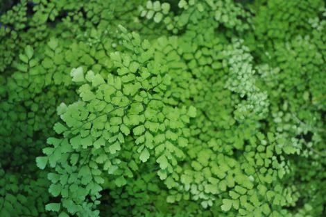 Adiantum Capillus-veneris 'Maidenhair Fern'