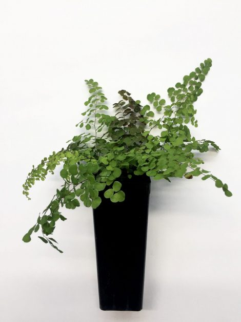 Adiantum Capillus-veneris 'Maidenhair Fern' seedling in pot