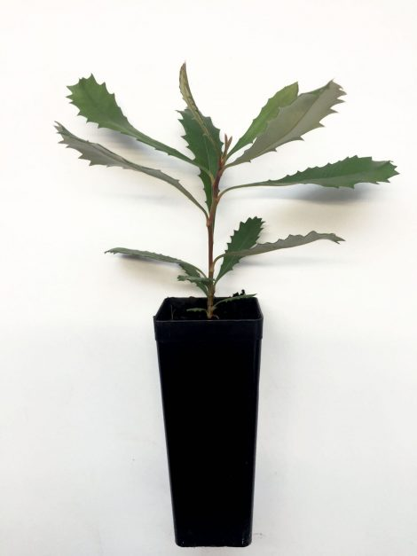 Banksia baueri - Teddy Bear Banksia seedling in pot