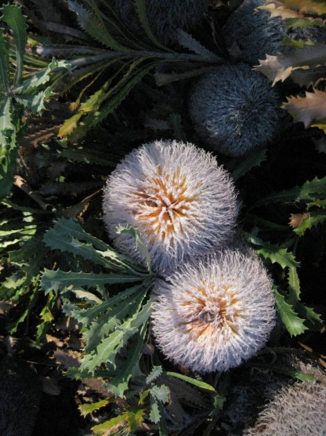 Banksia baueri - Teddy Bear Banksia flower cones close up