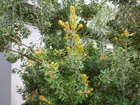 Banksia praemorsa 'Cut Leaf Banksia' leaf detail