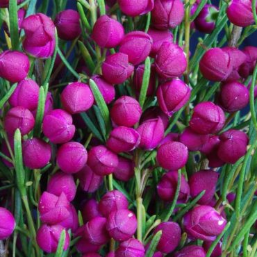 Boronia Plum Bells close up