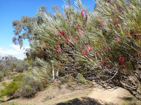 Hakea francisiana 'Emu Tree' in landscape