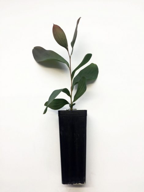 Hakea francisiana 'Emu Tree' seedling in pot