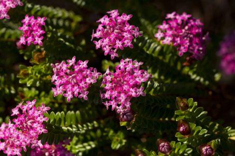 Pimelea ferruginea 'Pink Rice Flower' flower close up