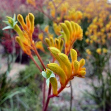 Anigozanthos - Landscape Gold close-up