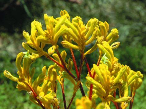 Anigozanthos - Yellow Gem flowers