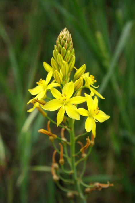 Bulbine Lily - Bulbine bulbosa flowers