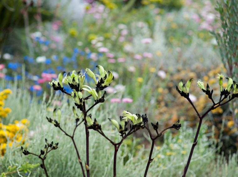 native flora including black kangaroo paw by bec oldmeadow