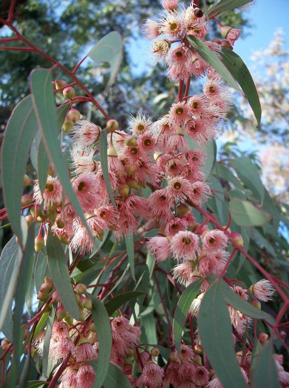 eucalyptus torquata 1