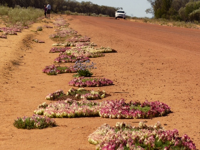 hundreds of was famous red wreath flowers line the road near mullewa