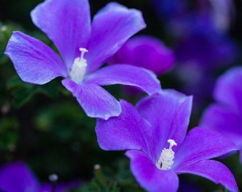 Native Hibiscus - Alyogyne huegelii 'West Coast Gem'