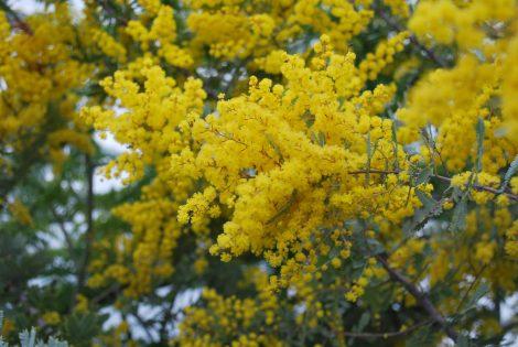 Dwarf Golden Wattle Acacia drummondii ssp drummondii