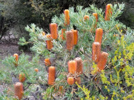 Banksia spinulosa 'Honey Pots'