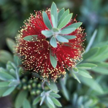 Bottlebrush Callistemon 'Little John'