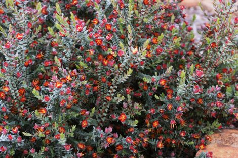 Prostrate Lemon Scented Myrtle Darwinia citriodora prostrate form