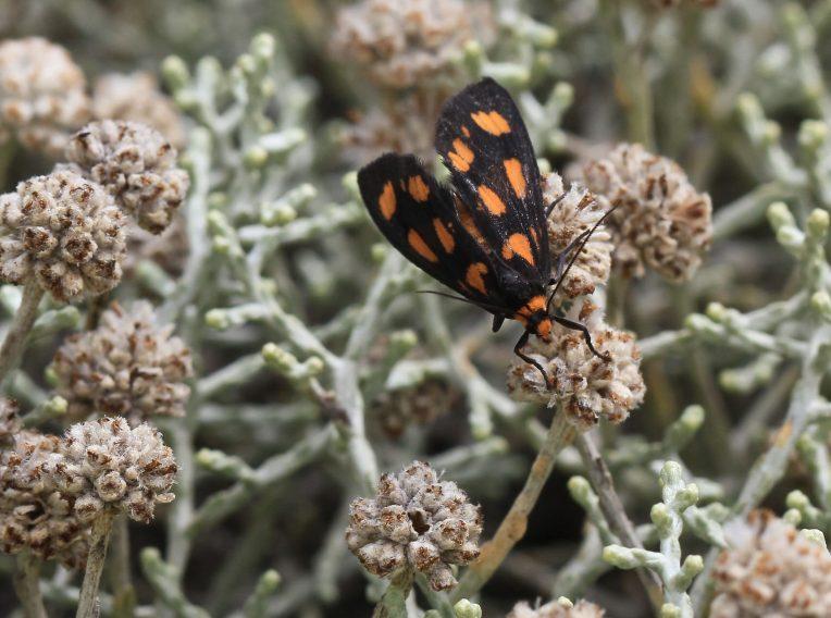 leucophyta brownii compact 3