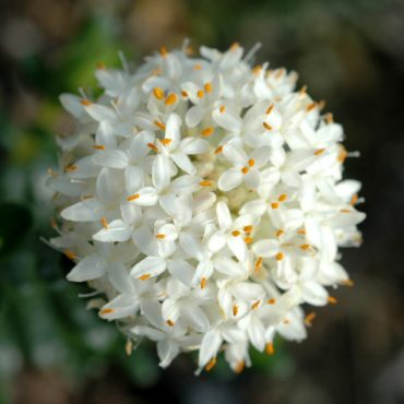Rice Flower Pimelea ferruginea alba