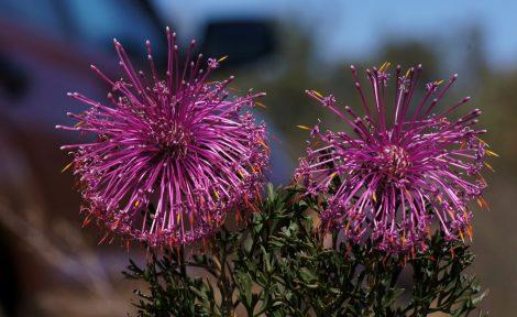 Rose Cone Flower Isopogon dubius