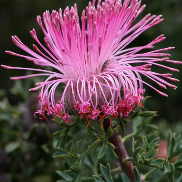 Rose Cone Flower Isopogon dubius